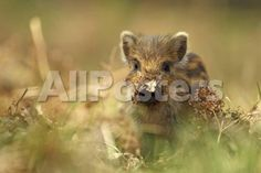 Wild Boar Piglet with Leaf Stuck on its Nose, Forest of Dean, Gloucestershire, England, UK by Babak Tafreshi Landscapes Photographic Print - 61 x 41 cm