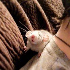 Link is adjusting so great to his new home! #aww #cute #rat #cuterats #ratsofpinterest #cuddle #fluffy #animals #pets #bestfriend #ittssofluffy #boopthesnoot