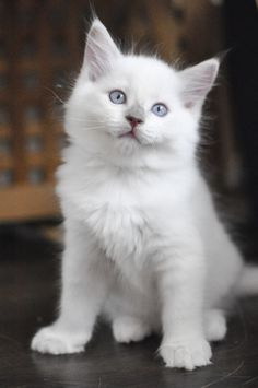 Cats are Very Lovable Creatures Kittens And Puppies, Cats And Kittens, Animals And Pets, Cute Animals, Here Kitty Kitty, Kitty Cats, Tiny Kitten, White Cats, Baby Cats