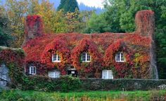 The Virginia Creeper covering a century cottage housing the Tu Hwnt IOr Bont tearoom has turned to copper red as Autumn approaches in Llanrwst, North Wales Weather In Europe, Creepers Plants, Fachada Colonial, Virginia Creeper, Garden Spaces, Pool Landscaping, Photo Instagram, Instagram Images, Cottage Homes