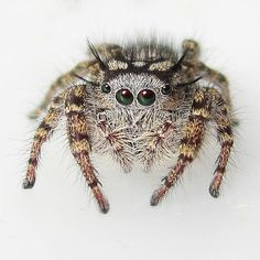 Jumping Spider, Tiny World, Spiders, Beautiful Creatures, Insects, Bird, Halloween, Cute, Animals