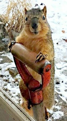 """Squirrel: """"Please may I borrow your shovel? I concealed my winter nuts, but far too deeply! Animals And Pets, Baby Animals, Funny Animals, Cute Animals, Vida Animal, Mundo Animal, Funny Animal Pictures, Cute Pictures, Funny Squirrel Pictures"""