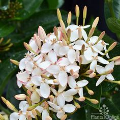 Ixora 'White Malay' Evergreen shrub 1m. White/pink ball shaped flowers in warmer months. Tolerates sun and shade.