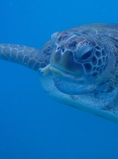 Snorkeling with sea turtles in Barbados. http://on.fb.me/1c0YjHi