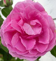Розовая роза🌹