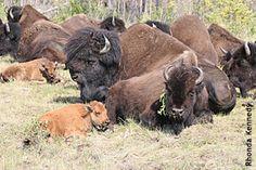 wood buffalo Farm Animals, Animals And Pets, Cute Animals, Baby Buffalo, Arctic Tundra, Spiritual Animal, Canadian Wildlife, American Bison, Fur Trade