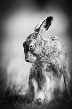 Hare Portrait by by Peter Denness.