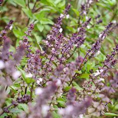 Cinnamon Basil, 'Ocimum basilicum' Need to plant some of this!