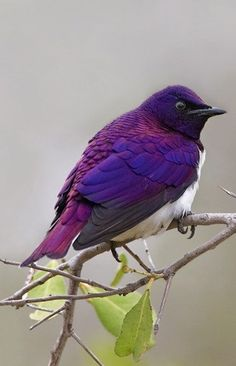 The Violet-backed Starling (Cinnyricinclus leucogaster), also known as the Plum-coloured Starling or Amethyst Starling, is a relatively small species of starling in the Sturnidae family. This strongly sexually dimorphic species is found widely in woodland of mainland sub-Saharan Africa. SORRY! My apologies to the many who had pinned it for the wrong name PURPLE MARTIN in the earlier pin