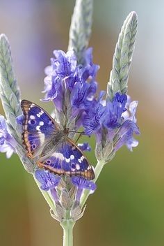 This is a Lesser Purple Butterfly (Apatura ilia), very purple, I LOVE it! purple is one of my favorite colors, my ultimate favorite is white (: Butterfly Kisses, Purple Butterfly, Butterfly Flowers, Beautiful Butterflies, Beautiful Flowers, Beautiful Pictures, Purple Flowers, Butterfly Pictures, Purple Iris