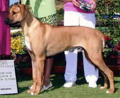 My friend's dog, Jackson.  A Rodesian Ridgeback/Lion-Hearted Lap Dog.
