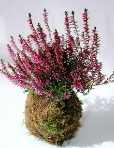 loving these colourful flowering Kokedama