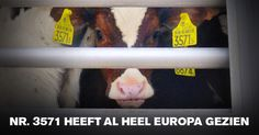 #Act4FarmAnimals Our member, Dierenbescherming, launched a petition against live transport of young calves.  Take action and sign it here