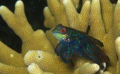 Mandarin Fish @ Moalboal Filippine