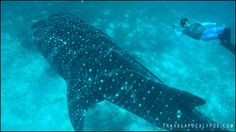 Swimming with the whale sharks at Oslob, Philippines Swimming With Whale Sharks, Best Location, Animal Tattoos, True Love, Philippines, Puppies, Cute, Adventure, Nautical Background