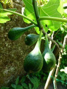 Figs ( en route ) in my garden
