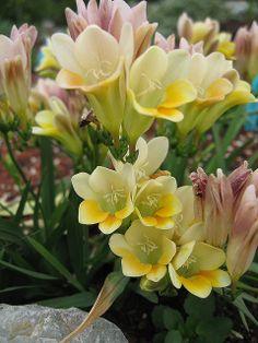 Freesia caryophyllacea | Flickr - Photo Sharing!