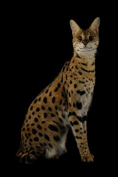A serval cat at the Fort Worth Zoo.    PHOTOGRAPH BY JOEL SARTORE