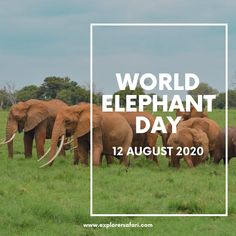 In celebration of World Elephant Day, we honour the majestic gentle giants of the wild! 🐘 Elephants are facing critical threats and we are committed to ensure their survival through sustainable travel practices. #explorer #explorersafari #worldelephantday #elephants #africa #exploreafrica #travel #wildlife #adventures #elephant #traveltoafrica #bucketlist #gentlegiants #big5 #conservation #wildlifeconservation #elephantconservation #elephantlove #africanelephant #onlyinafrica #nature World Elephant Day, Elephant Love, African Elephant, African Safari, Wild Animals List, African Buffalo, Big 5, Wildlife Conservation, Gentle Giant