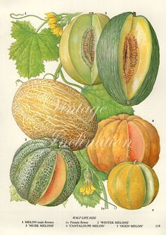 Vintage Botanical Print Antique CANTELOUPE MELONS, plant print botanical print, bookplate art print, peach fruit plants plant wall print
