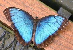 Blue Morpho Butterfly, Costa Rica.