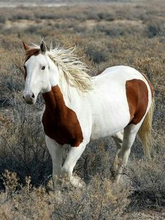 What an absolutely gorgeous wild mustang! Please fight to protect these American legacies from capture & slaughter by our own CORRUPTED Bureau of Land Mgmt!! They want to lease federal lands to millionaire cattle ranchers for pennies..
