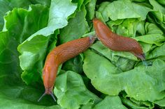 Slugs can eat seedlings in your garden in minutes & destroy all of your plants in a few days. He are natural, easy ways to get rid of slugs in your garden. Slugs In Garden, Garden Insects, Garden Pests, Organic Gardening, Gardening Tips, Vegetable Gardening, Getting Rid Of Slugs, Organic Insecticide, Modern Farmer