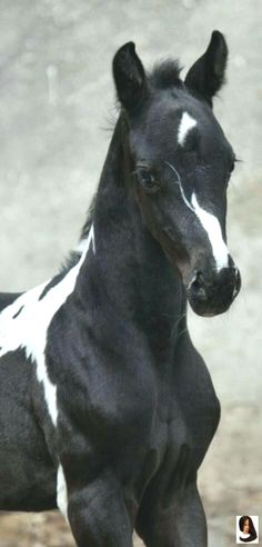 Best Painting Black And White Beautiful Horses 48 Ideas Baby Horses, Cute Horses, Horse Love, Nature Animals, Animals And Pets, Funny Animals, Most Beautiful Animals, Beautiful Horses, Cheval Pie