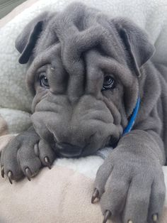 Shar pei pup - it will grow into most of those wrinkles! Shar Pei Puppies, Pug Puppies, Cute Dogs And Puppies, I Love Dogs, Pet Dogs, Dog Cat, Sharpei Dog, Doggies, Cute Little Animals