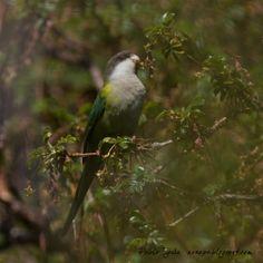 Grey-hooded Parakeet( Psilopsiagon aymara). Photographed by Pablo Eg uia at PN Condoritos, Cordoba, Argentina on 29th October 2011