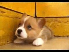 Post with 95 views. Cute Little Baby Corgi Gif (x-post from /r/aww) Animals And Pets, Baby Animals, Funny Animals, Cute Animals, Baby Corgi, Cute Puppies, Cute Dogs, Dogs And Puppies, Corgi Puppies
