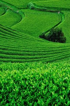 Green terraced farmland