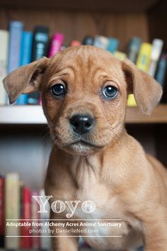 How darn cute is Yoyo! He is up for adoption at Alchemy Acres in Salem Ohio. http://www.alchemyacres.org/  #puppy #dog #rescue #ohio