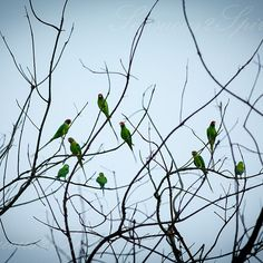 Green brigade- A bunch of chattering parrots perched on a leafless tree brings alive the jungle beauty as it lends life with its rich green presence ... #sensuous2spiritual #lonelyplanetindia  #incredible_india  #incredibleindia #icu_india #wu_india #oyeitsindia #nature #wildlife #ig_asia  #canonphotography #exploration #exploringindia #indiaphotos #instatravel  #ipclub #ig_shots #icu_india #ig_india #fineartphotography #colorsplash #colorpalette #gramoftheday #instaframe #traveltrails…