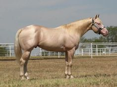 Busy Winin Chex 2007 Cremello Stallion by Nu Chex To Cash out of Tuckers Tuf N Taffy. Current NRHA earnings of $5,000. Incentive Fund Nominated.