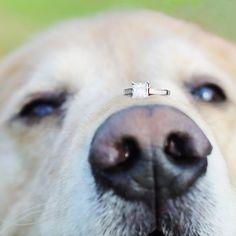 Your special pup helping show off your ring! Awwww  #huffpostwed #huffpostweddings #huffpostido #huffingtonpost #dogs #dogsofinstagram #goldenretrievers #engagementphotos #engagementrings #njweddings #njweddingphotography jayekogut.com