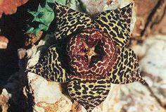 http://www.cactus.cz/images/cd-asclep/orbea_namaquensis.jpeg