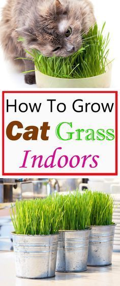 Cats Toys Ideas - Growing cat grass indoors will keep your cats busy and entertain them. This way they dont need to go outside for grazing, where the grass may be treated with pesticides and fertilizer! - Ideal toys for small cats Cat Care Tips, Pet Care, Benny And Joon, Cat Grass, Grass For Cats, Cat Garden, Garden Web, Balcony Garden, Indoor Garden