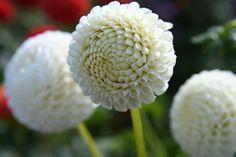 White 'Little Snowdrop' #plantlover