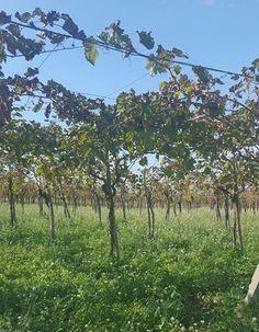 Sizilien, das Anbaugebiet Nero d'Avola