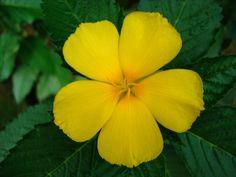 Exotic Flowers   Asisbiz FLOWERS Tropical,garden,flowers,Ayala,Alabang,Manila ...