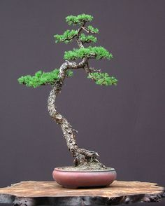 bonsai estilo doble tronco - Buscar con Google