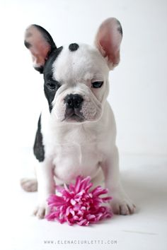 French Bouledogue Puppy