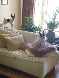 Hey mum he climbing on the sofa Toy Fox Terriers, Sofa, Couch, Climbing, Lounge, Furniture, Home Decor, Chair, Airport Lounge