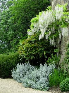 White wisteria From: Brabourne Farm, please visit Garden Shrubs, Garden Plants, Garden Landscaping, Lush Garden, Moon Garden, Dream Garden, Landscape Design, Garden Design, White Wisteria