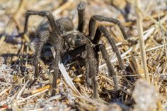 unexpected encounter - the Aphonopelma reversum or California Black #Tarantula. #spider #bigsur #california