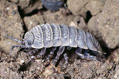 CRUSTACEA (Crustáceo) - Isópode terrestre de ambiente árido (desertos), Hemilepistus reaumuri.      CRUSTACEA (Crustacean) - Terrestrial isopod of arid environment (deserts), Hemilepistus reaumuri.