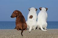 Yes, I know, I am NOT a Jack Russell Terrier!!!