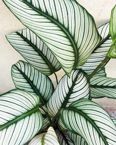 Lørdags-love 🌿 kom forbi og find din yndlings Calathea i Calathea Plant, Plantas Indoor, Decoration Plante, Best Indoor Plants, Indoor Garden, Indoor Cactus, Interior Plants, Foliage Plants, Green Plants
