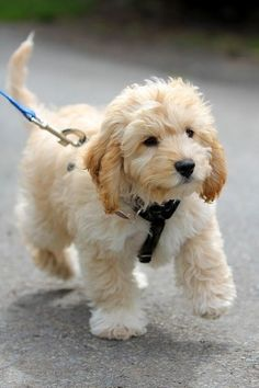 *Cavapoo (Spaniel and Poodle Mix) What a cutie!!!